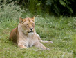 Relaxing African lioness
