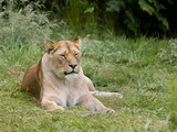 Relaxing African lioness - 243569483