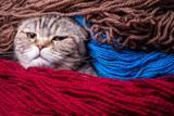 Fototapeta Koty - Wicked Scottish Fold cat looks strictly wrapped in colored wool yarn. Close-up. © koldunova