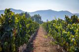 Fototapeta Miasto - Chilean Vineyard - Santiago, Chile © diegograndi