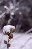 Image of dried flowers under the snow. - 243605683