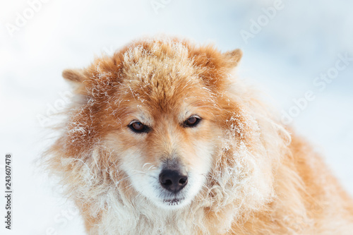 Portrait of fluffy red dog outdoors in winter on snow