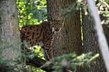 Luchs (Lynx lynx), Captive, Deutschland, Europa