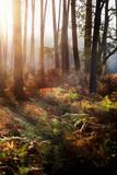 lever de soleil sur la forêt - 243623412