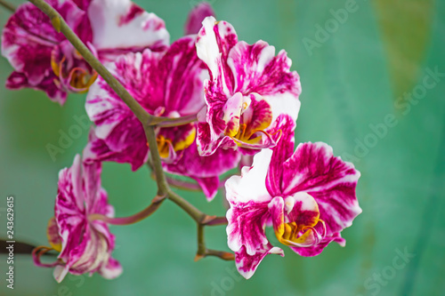 Beautiful flower purple Orchid Phalaenopsis closeup on green background