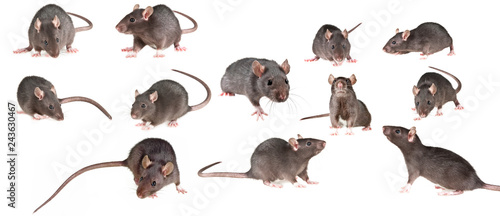 brown rat isolated on a white background - collection - 243630467