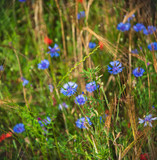 Beautiful field with blue cornflower flowers, ripe golden spikes and red poppies. Natural beauty background. Selective focus. Biodiversity /ecology / environment / eco planet concept.