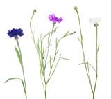 three colors cornflowers on white