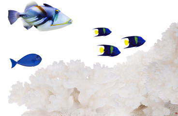 blue fishes near light coral isolated on white © Alexander Potapov