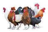 seven roosters group isolated on white