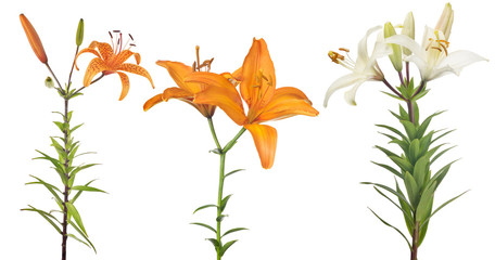 isolated three blosoming lily flowers © Alexander Potapov