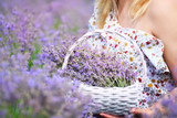 Wicker basket in the hands of a girl with lavender flowers of lilac on a lavender field.