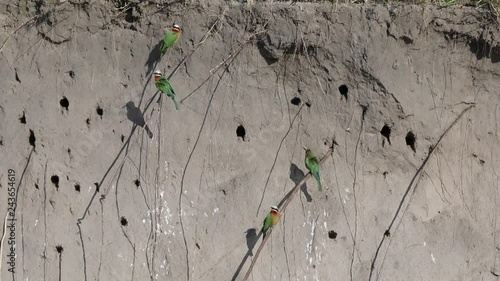 25 fps - Footage of Beeeater birds in front of there nestst beside the river Quando in the north of Namibia