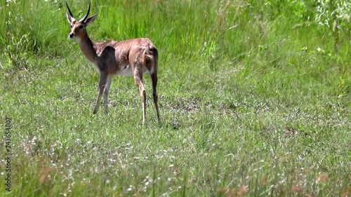 50 fps - Footage of a Southern Reedbuck male standing in the savannah grass in the north of Namibia