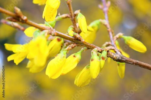 Poster 봄날에 아름답게 피어난 개나리 꽃이다.