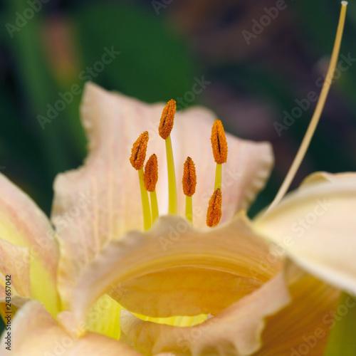 Wall mural Yellow daylily flower, Hemerocallis in the summer garden.