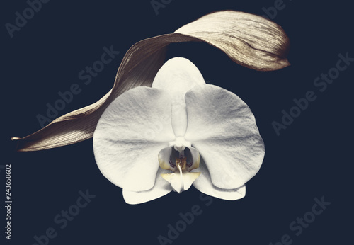 White pretty orchid on black background - 243658602