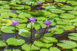 Leinwandbild Motiv Lily flower Water natural background