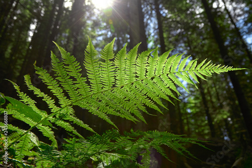 Green fern leaf in the forest against the backdrop of trees and sun rays.
