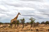 Male giraffe in the Kruger National Park in South Africa - 243669054