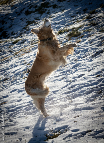 Dog, Golden Retriever playing in the snow