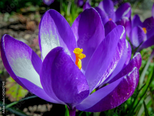 Soft selective focus of close-up purple Ruby Giant Crocus on a sunny spring day. Delicate spring format for any nature concept for design - 243677441