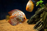 Aquarium Fish. Underwater Stones and sand. Fishes and air bubbles on the background. - 243685677