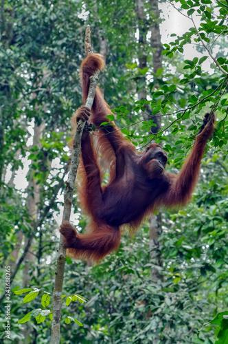 Poster Orangutan on a background of trees. The Orangutan park, Malaysia, Borneo, state Sarawak. The Hominids, Great Apes, Primates, Mammals, genus: Orangutans (Pongo pygmaeus), subfamily Pongidae.