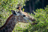 Giraffe eating leaves from thorn tree in africa - 243689493