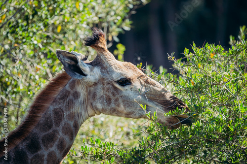 Poster Giraffe eating leaves from thorn tree in africa