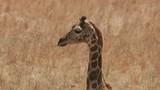 Giraffe close up at wildlife park - 243692440