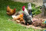 Galo e galinhas