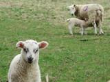 Lambing Time - 243708846