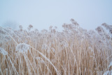 Snow on frozen reed - 243710845