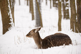 Female fallow deer lying on the snow in the winter forest - 243711073