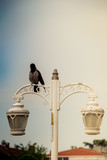 Old  retro electric street lamps with a crow on it - 243718839