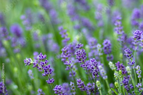 lavender flowers - 243718865