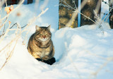 striped cat sits in the snow in a winter rural garden and looks straight down at the fur