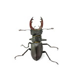 Male stag beetle isolated on white background.