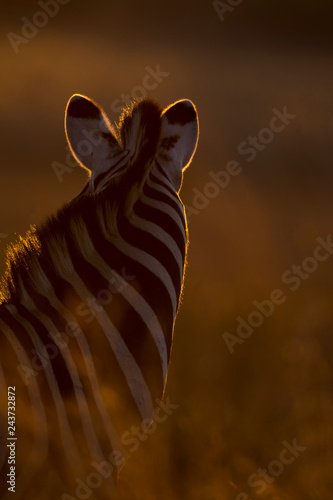 Silhouette of a zebra portrait in long grass at sunset and rim lighting