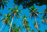 Coconut palms against a clear blue sky. Crowns of palm trees against the sky. Tropical palm forest. Clear sunny day. - 243734098