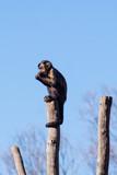 Mono Capuchino en el Zoo  - 243737492