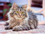 A small fluffy cat lays in the room and looks at the owner attentively. Pets_