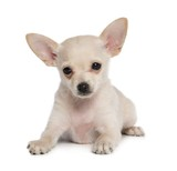 Toy Terrier Dog on Isolated White Background in studio