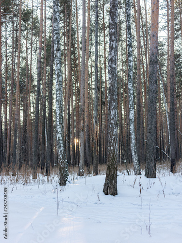 Bare trunks of pines and birches in winter snowy forest - 243739489