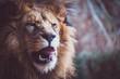 Leinwandbild Motiv Portrait d'un lion