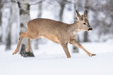 Beautiful young deer on a winter day. Everything covered in fresh white snow, more falling down. Cute cub in nature. Meadow, forest, typical animal. - 243748624