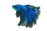 Blue siamese fighting fish,Halfmoon betta fish isolated on white background.