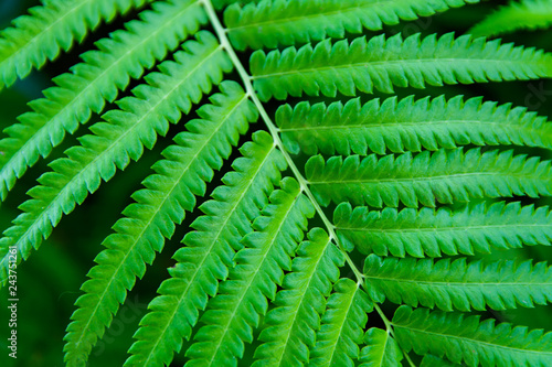 Green ferns leaves green close up background