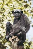 Portrait d'un singe chimpanzé perché
